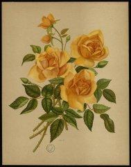 ma-capucine-le-livre-dor-des-roses-paul-hariot-1903_0145