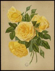 marechal-niel-le-livre-dor-des-roses-paul-hariot-1903_0151