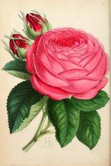 eduard-morren-floralmagazineco08lond_0142