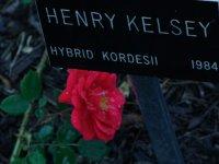 henry-kelsey