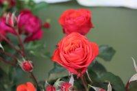 red-queen4