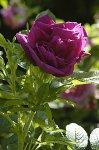 roseraie-z-wwwrosaio.jpg