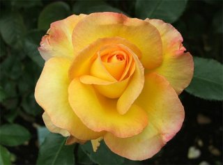 rose-solitaire-yellow