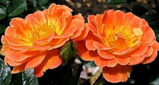 bessy-rose
