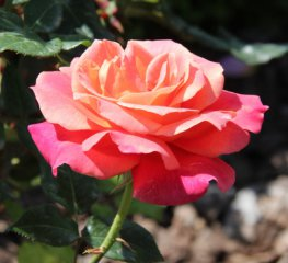 rosa-li-bures-1