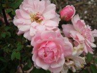 rosa_perla_de_monserrat-z-wikipedii-2