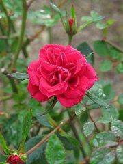 rose-violetta