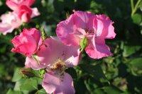 rosa-polonica
