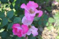rosa-polonica2
