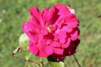clo-fleuri-rouge3