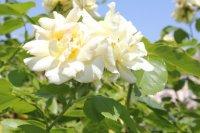 clos-fleuri-jaune2