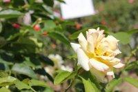 clos-fleuri-jaune3