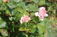 clos-fleuri-rose-8