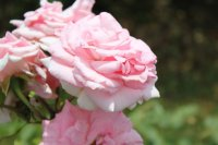 clos-fleuri-rose-delbard
