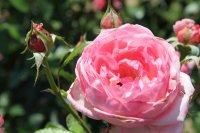 la-rosede-molinard