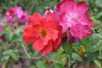 marguerite-rose