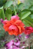 marguerite-rose2
