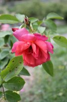 marguerite-rose3