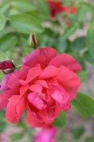 marguerite-rose5