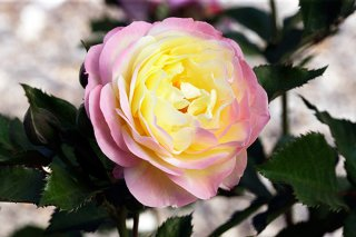 huntington-rose_600