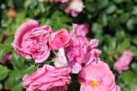 rose-mit-herz