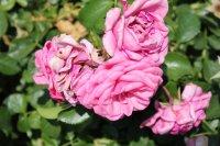 rose-mit-herz2