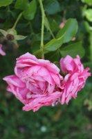 rose-mit-herz3