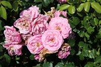 rose-mit-herz4