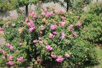 rose-mit-herz5