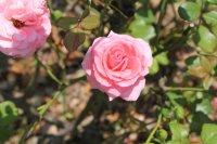 rosellana