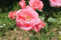 rosellanas