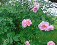 rosa_prairie_youth_1