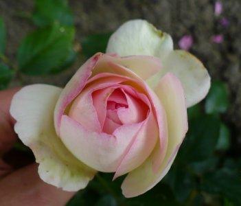 eden-rose-0901.jpg