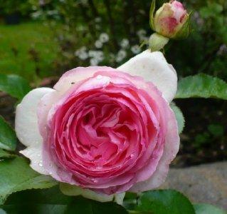 eden-rose-0903.jpg