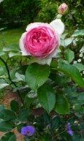 eden-rose0902.jpg