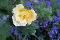 yellow-dagmar-h_0