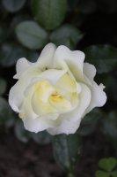 white-meilove