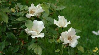 r-chinensis-spontanea-kew-gardens-mryx