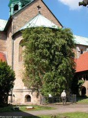 thousand-year-rose-katedra-hildesheim
