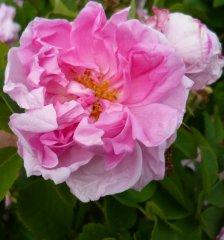 rosier-de-damas-a.jpg