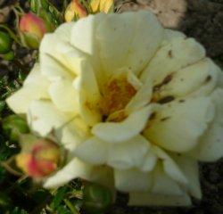 sunny-rose.jpg
