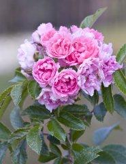 pink-grotendorst.jpg