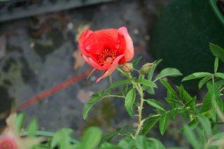rosa-nigel-hawthorne.jpg