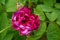 reine-des-violettes-gubala.jpg