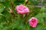 pink-grootendorst1-gubala.jpg