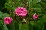pink-grootendorst-2-gubala.jpg