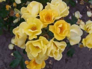 yellow-fleurette-2000.jpg