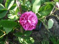 reine-des-violettes-8czerwiec-2008-016.jpg