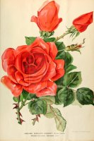 madane-eduard-herriot-journaldesroses3637pari_0517.jpg