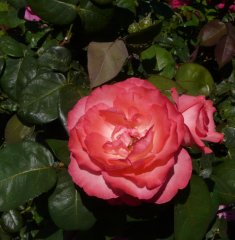 panthere-rose-aachener-dom